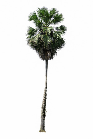Toddy palm, Sugar palm, or Cambodian palm, tropical tree on white background. Stock Photo