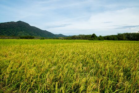 rice field in Thailand at morning time.