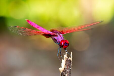 Sky Hunters or  Dragonfly in the Nature 스톡 콘텐츠
