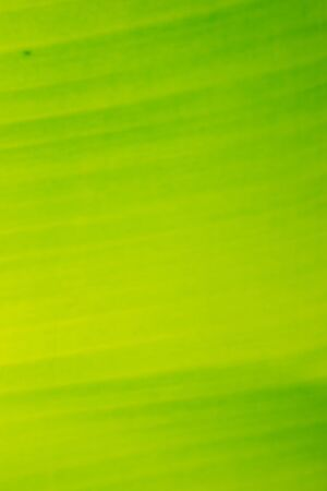 banana leaf close up background 스톡 콘텐츠