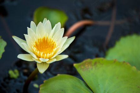 lotus flower and leaf in natural background.