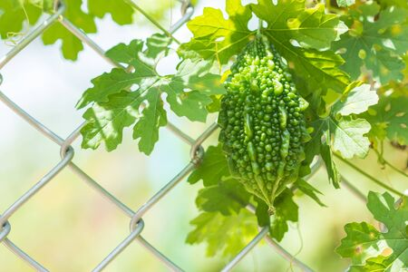 bitter ground  or Carilla fruit on  the vine that rests on the net of the fence