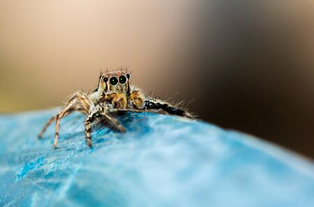 Jumping spider on blue old plastic background.