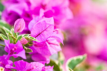 Bougainvillea flower in soft focus with blurred background.