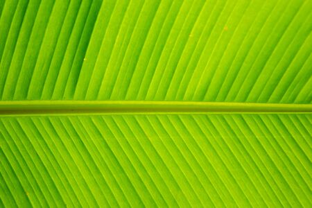Green banana leaves background. 스톡 콘텐츠