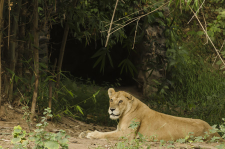 den: Asiatic lioness resting and protecting her den Stock Photo