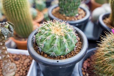 Cactus in a pot black. Stok Fotoğraf