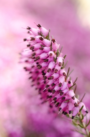 Heather flowers blossom in march