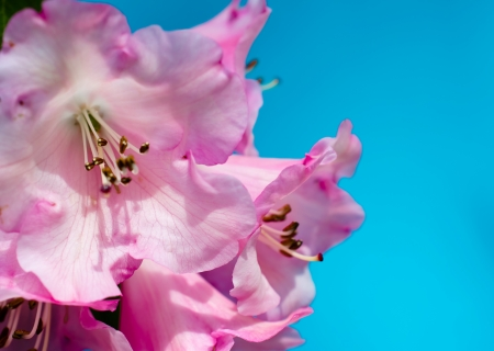 Rhododendron Moonstone