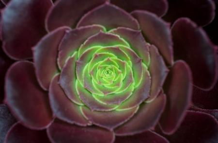 Crassulaceae Stock Photo