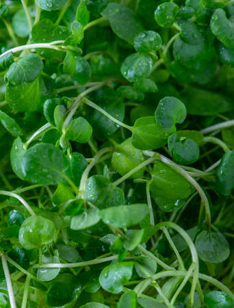 Green watercress wet leaves after watering.