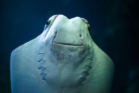 exoticism saltwater fish: Stingray smiling in the aquarium