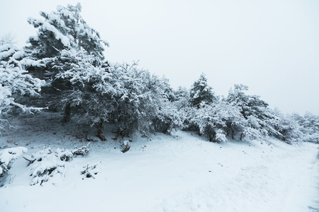 pinaceae: Winter Landscape.