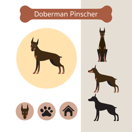 Doberman Pinscher Dog Breed Infographic, Illustration, Front and Side View, Icon