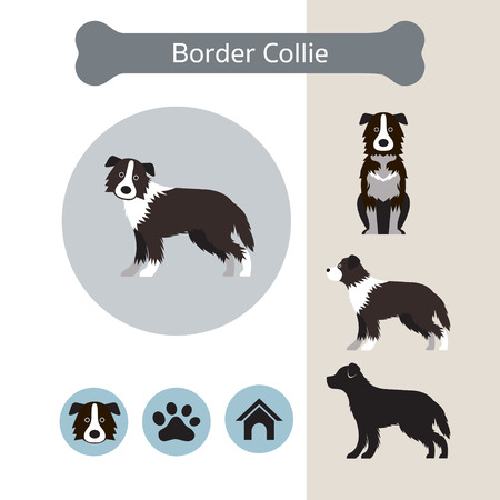 Border Collie Dog Breed Infographic, Illustration, Front and Side View, Icon