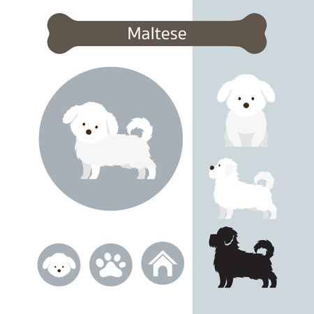 Maltese Dog Breed Infographic, Illustration, Front and Side View, Icon