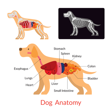 Dog Anatomy and X-Ray