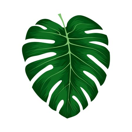 Monstera Deliciosa plant leaf from tropical forests isolated on white background. Can be used for greeting cards, flyers, invitations, web design, to everything. File has clipping path.