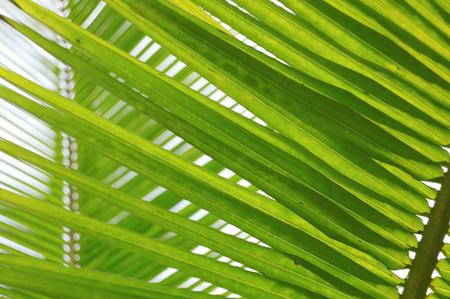 Fresh palm tree leaves with clear sky