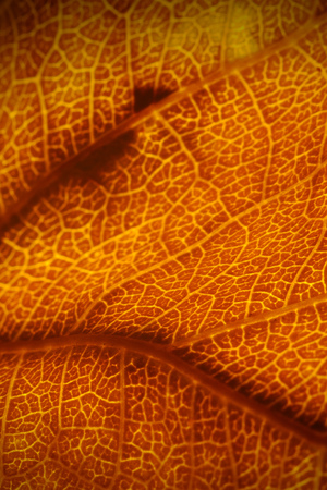 Orange leaf vascular texture close-up. Streaks like blood vessels or veins or like a birds-eye view of the desert