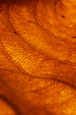 Orange leaf vascular texture close-up. Streaks like blood vessels or veins, or like a birds-eye view of the desert