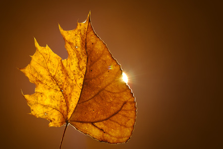 Autumn tulip poplar mixed with maple leaf on solid background. With back sunlight.