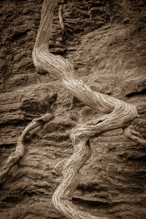 twisted: exposed twisted tree root brown background