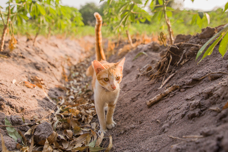 A cat walking at Tapioca farm, potato farm, tapioca plantation, agriculture and light sunset, sunrise.