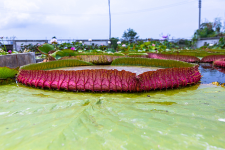 Victoria amazonica. The flower plant, the largest of the Nymphaeaceae family of water lilies.