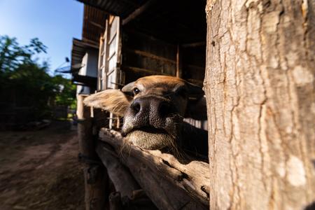 buffalo in corral beside a house farming