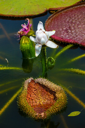 Victoria amazonica. The  flower plant, the largest of the Nymphaeaceae family of water lilies. 写真素材 - 122674490