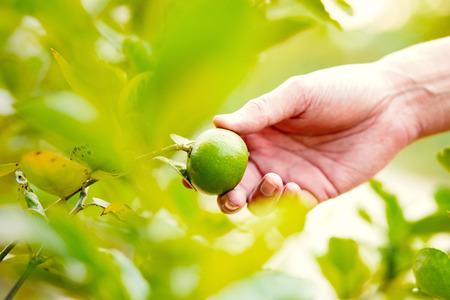 Hand farmer pick lemon from lemon tree. 写真素材