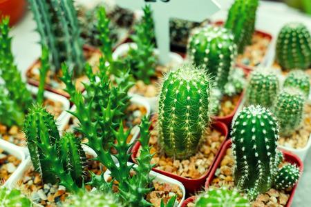 Set of domestic cactus closeup. Cactus Garden collection in small flowerpots. 写真素材 - 122677826