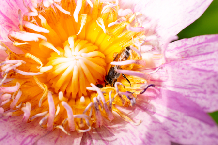 Bee on beautiful purple Lotus Flower in pond in the morning.