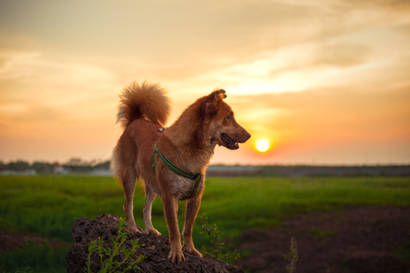 A cute dog stand on stone at sunset time. 写真素材