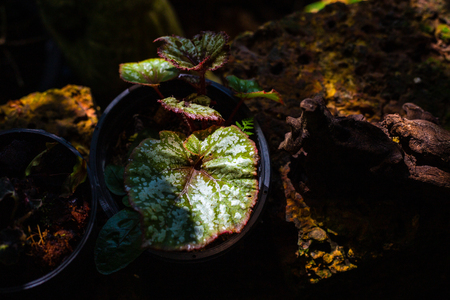 green red fancy color caladium leaves with light and shadow in the forest. 写真素材