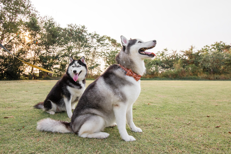 Funny smiling puppies playing outdoors on a green summer grass. Happy pets enjoying their life.