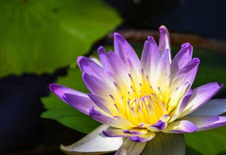beautiful purple Lotus Flower in pond in the morning. 写真素材