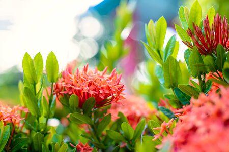 Ixora-Blumenblüte in einem Garten. Rote Spitzenblume. Natur- und Blumenhintergrund.