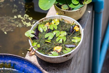 Green leaves lotus  in pond in the morning. 写真素材