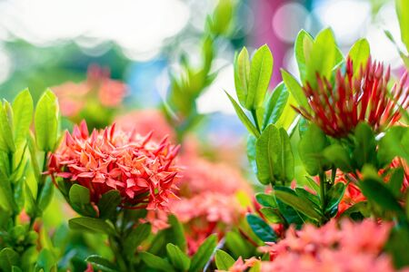 Ixora flower blossom in a garden. Red spike flower. Natural and flower background. Imagens