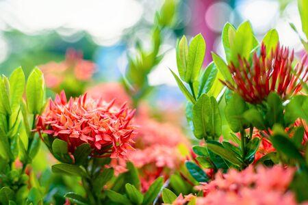 Ixora sbocciano i fiori in un giardino. Fiore a punta rossa. Sfondo naturale e floreale. Archivio Fotografico