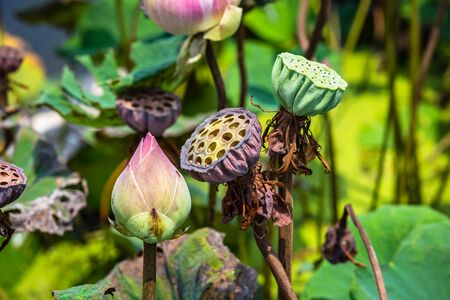 lotus seed pods in the garden with green leave background 写真素材