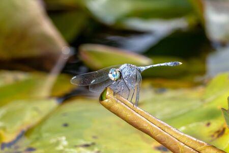 macro photo dragonfly with lotus. animal wildlife concept.