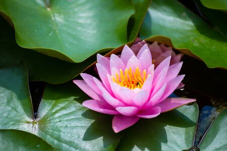 beautiful Lotus Flower with green leaf in in pond.