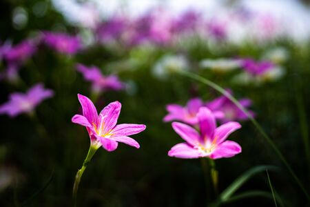 Zephyranthes Lily, Rain Lily, Fairy Lily. The flower growth in the garden.
