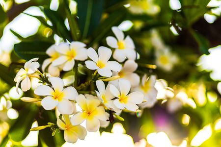 group of yellow white and pink flowers (Frangipani, Plumeria) on a sunny day. Natural background. Фото со стока