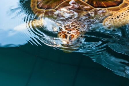 Turtle  swim in the water at Turtle nursery