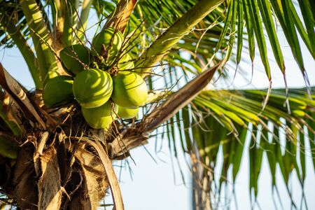 fresh coconut on the tree, coconut cluster on coconut tree and blue sky. Фото со стока