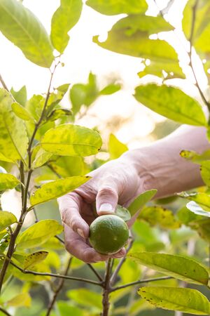 Hand farmer pick lemon from lemon tree. Фото со стока